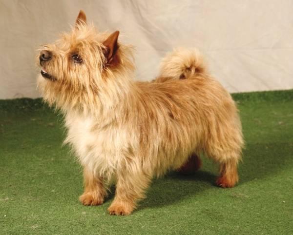 Cách nuôi chó Norwich Terrier